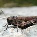 Psophus stridulus - Photo (c) Gilles San Martin, μερικά δικαιώματα διατηρούνται (CC BY-SA)