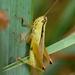 Mecostethus parapleurus - Photo (c) David GENOUD, algunos derechos reservados (CC BY-NC-SA)