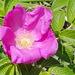 Rosa Japonesa - Photo (c) Kelly Fuerstenberg, algunos derechos reservados (CC BY-NC)