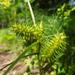 Carex retrorsa - Photo (c) Cathy Murray, algunos derechos reservados (CC BY-NC)