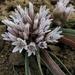 Allium crenulatum - Photo (c) Peter Prehn, algunos derechos reservados (CC BY-NC-ND)