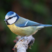 Eurasian Blue Tit - Photo (c) rorygardner79, some rights reserved (CC BY-NC)