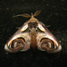 Eyed Paectes Moth - Photo (c) Audrey Hoff, some rights reserved (CC BY-NC-ND)