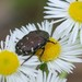 Gametis jucunda - Photo (c) Paul B.,  זכויות יוצרים חלקיות (CC BY-NC-ND)