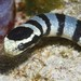 Banded Sea Krait - Photo (c) Nigel Marsh, some rights reserved (CC BY-NC)