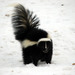 Skunks - Photo (c) Michael, some rights reserved (CC BY-NC-SA), uploaded by Michael Butler