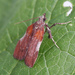 Boxwood Leaftier Moth - Photo (c) Seabrooke Leckie, some rights reserved (CC BY-NC-ND)