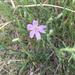 Lygodesmia juncea - Photo (c) desertdutchman, algunos derechos reservados (CC BY-NC), uploaded by Ken Bosma
