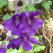 Large-flowered Butterwort - Photo (c) jcusens, some rights reserved (CC BY-NC)