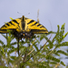 Two-tailed Swallowtail - Photo (c) biocacheux, some rights reserved (CC BY-NC), uploaded by Iván Montes de Oca Cacheux