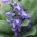 Vitex rotundifolia - Photo (c) crunger70, algunos derechos reservados (CC BY-NC)