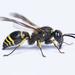 Ancistrocerus parietinus - Photo (c) Glenn Costello, μερικά δικαιώματα διατηρούνται (CC BY-NC-ND)
