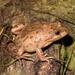 Limnodynastes fletcheri - Photo (c) eyeweed, alguns direitos reservados (CC BY-NC-ND)