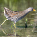 Spotted Crake - Photo (c) Dmitry Dubikovskiy, some rights reserved (CC BY-NC)