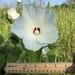 Hibiscus lasiocarpos - Photo (c) Chris Kneupper, algunos derechos reservados (CC BY-NC)