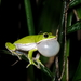 Farmland Green Flying Frog - Photo (c) Yen-Chu Chen, some rights reserved (CC BY-NC-ND)