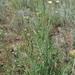 Cephalaria uralensis - Photo (c) Сергей Дудов, algunos derechos reservados (CC BY-NC)
