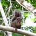 Ardilla de Guayana - Photo (c) Alex Popovkin, algunos derechos reservados (CC BY), uploaded by russiannaturalistbrazil