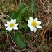 Caltha chionophila - Photo (c) Renee Lile, algunos derechos reservados (CC BY-NC)