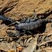 Scorpiops - Photo (c) Chief RedEarth, algunos derechos reservados (CC BY-NC-ND)