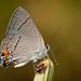 Strymon melinus franki - Photo (c) Stephen John Davies, some rights reserved (CC BY-NC)
