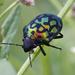 Orsilochides variabilis - Photo (c) Eduardo Axel Recillas Bautista, μερικά δικαιώματα διατηρούνται (CC BY-NC)