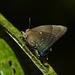 Theritas monica - Photo (c) Tom Horton, algunos derechos reservados (CC BY-NC)