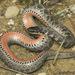 Clonophis kirtlandii - Photo (c) Todd Pierson, algunos derechos reservados (CC BY-NC-SA)
