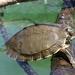 Graptemys pearlensis - Photo Cris Hagen, University of Georgia, Savannah River Ecology Laboratory, sin restricciones conocidas de derechos (dominio publico)