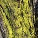 Gold Dust Lichen - Photo (c) Lorraine Norden, some rights reserved (CC BY-NC)