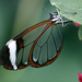 Glasswing Butterflies - Photo (c) Debs, some rights reserved (CC BY-NC-ND)