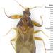 Lyctocorinae - Photo (c) Claas Damken, algunos derechos reservados (CC BY-SA)