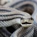 Four-lined Snake - Photo (c) Giuseppe Cillis, some rights reserved (CC BY-NC)