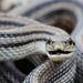 Cobra-Rateira-de-Quatro-Listras - Photo (c) Giuseppe Cillis, alguns direitos reservados (CC BY-NC)