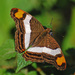 Mariposa Monja de Banda Blanca - Photo (c) Jerry Oldenettel, algunos derechos reservados (CC BY-NC-SA)