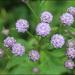 Saussurea pulchella - Photo (c) Lee, seong-won,  זכויות יוצרים חלקיות (CC BY-NC)