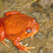 Tomato Frog - Photo (c) David d'O, some rights reserved (CC BY-NC-SA), uploaded by Schaapmans