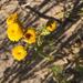 Tanacetum bipinnatum huronense - Photo (c) Derek, algunos derechos reservados (CC BY)