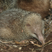 Tailless Tenrec - Photo (c) David d'O, some rights reserved (CC BY-NC-SA), uploaded by Schaapmans
