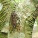 Pomponia linearis - Photo (c) tsungyu88, algunos derechos reservados (CC BY-NC)