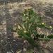 Opuntia puberula - Photo (c) Papageorgiou Nikolaos, some rights reserved (CC BY-NC)
