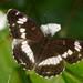 Mariposa Almirante Blanco - Photo no hay derechos reservados