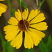 Southern Sneezeweed - Photo (c) Jerry Oldenettel, some rights reserved (CC BY-NC-SA)
