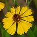 Helenium flexuosum - Photo (c) Jerry Oldenettel, algunos derechos reservados (CC BY-NC-SA)