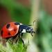 Coccinella magnifica - Photo (c) Gilles San Martin, algunos derechos reservados (CC BY-SA)