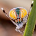 Flying Peacock Spider - Photo (c) Jurgen Otto, some rights reserved (CC BY-NC-ND)