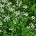 Nasturtium microphyllum - Photo (c) Will Van Hemessen, algunos derechos reservados (CC BY-NC)