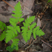 Northern Oak Fern - Photo (c) Susan Elliott, some rights reserved (CC BY-NC)