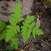 Gymnocarpium dryopteris - Photo (c) Susan Elliott,  זכויות יוצרים חלקיות (CC BY-NC)