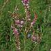 Desmodium canadense - Photo (c) aarongunnar, μερικά δικαιώματα διατηρούνται (CC BY)